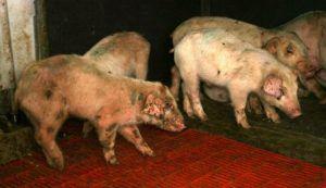 Цинк бацитрацин защищает организм животных от болезней