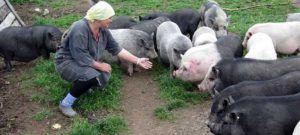 Свиньи получают достаточно белка с продуктом «Откорм»