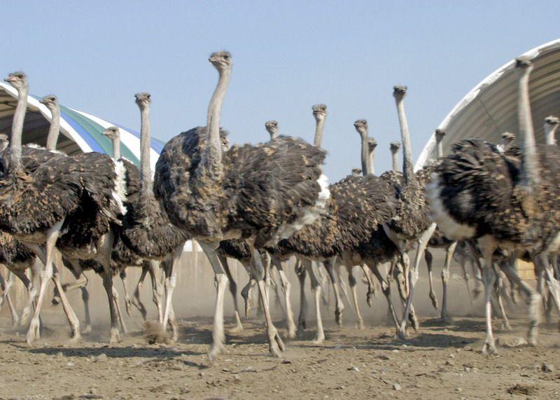 Покупка всего лишь одной или нескольких страусиных семей может приносить стабильный многолетний доход