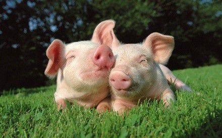 Определение конверсии поможет увеличить продуктивность свиней