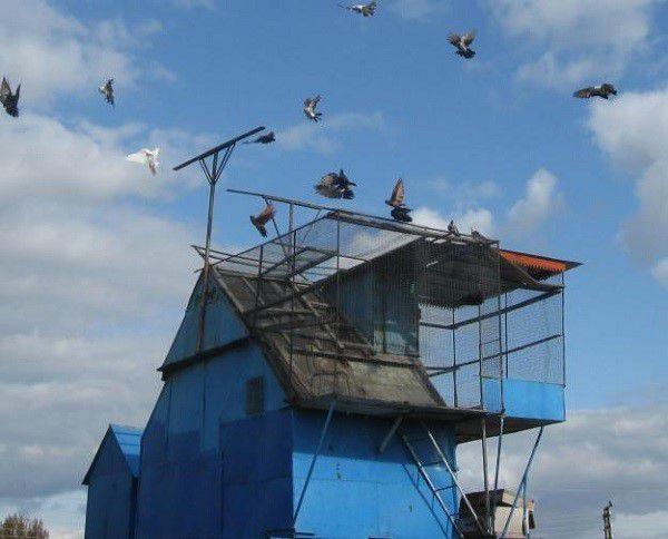 Чердачная голубятня, построенная своими руками