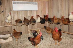 Ухоженное и здоровое поголовье маточных кур в хорошо оборудованном курятнике