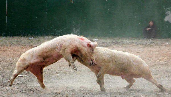 Свиньи могут невзлюбить друг друга с первого взгляда