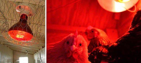 Красная лампа поможет обогреть кур и увеличить световой день