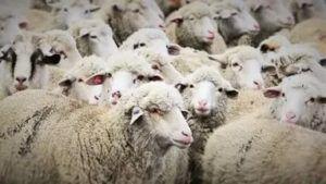 Племенное овцеводство