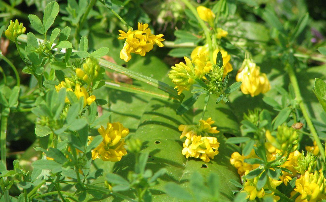 Если несушке скармливать люцерну, окрас желтка будет светло-желтым