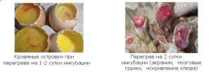 Гибель эмбрионов и уродства птиц при перегреве в начальный инкубационный период