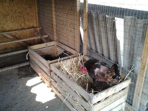 Гнезда для кур делаются из деревянных ящиков