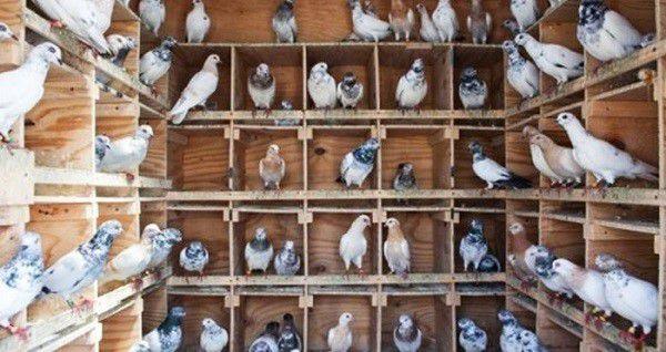 Сытые голуби спокойно перенесут мороз без дополнительного отопления птичника