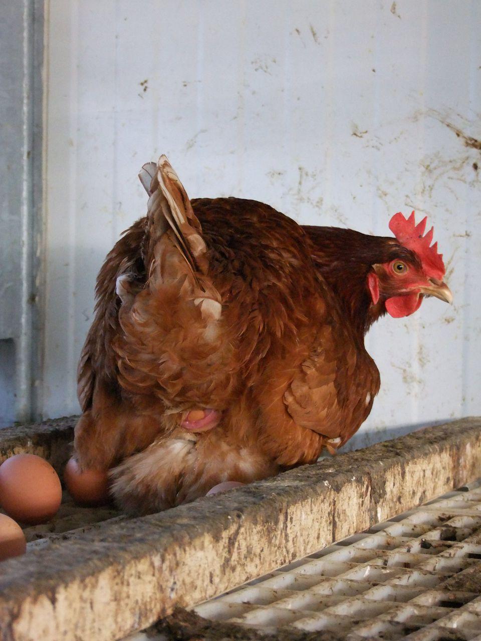 Курицы не брезгливы по отношению к чужим гнездам
