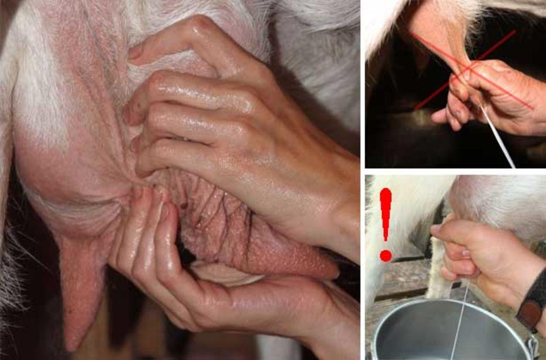 Правильное положение руки при доении коровы