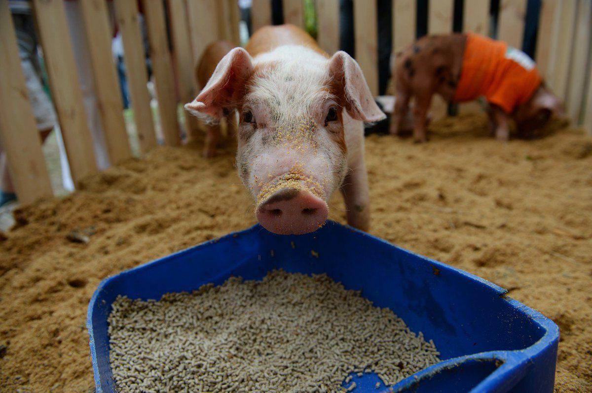 Свинья ест зерно