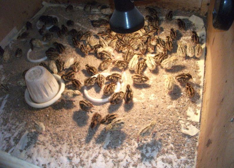 Кормление птенцов перепелов