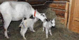 Чаще всего у козы рождается 1-2 детеныша