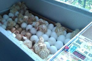 Наклёв яиц