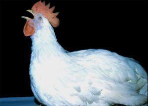 Инфекционный бронхит у кур