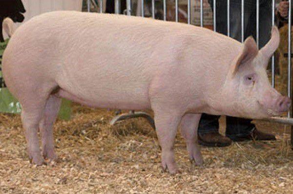 Прирост массы тела свиней и эффективность кормления достигается с помощью стимуляторов роста