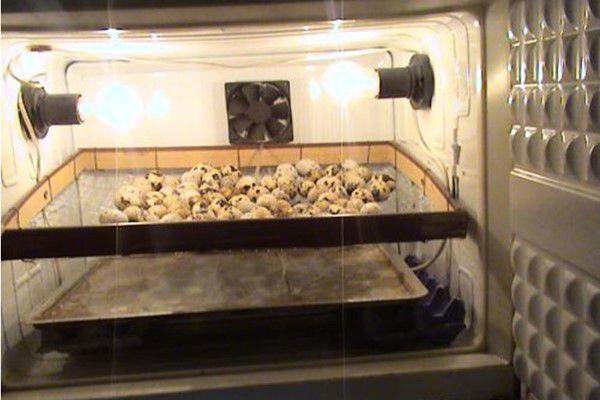 Выведение птенцов в самодельном инкубаторе