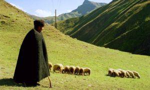 Кавказ – оптимальный регион для разведения овец
