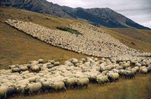 Выпас овец на Кавказе
