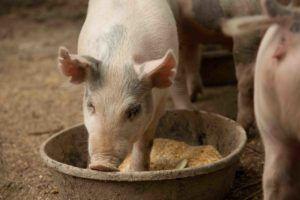 Свиньи едят мешанку