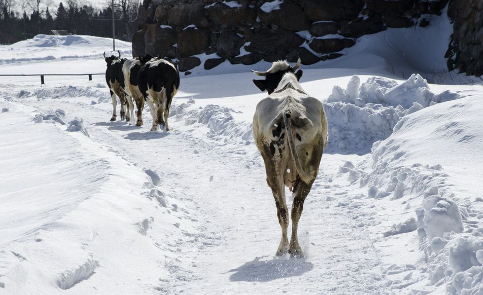 Зимний период благоприятно сказывается на показателях молочности