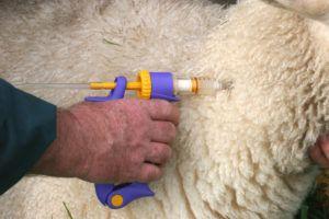 Ветеринар осматривает овец
