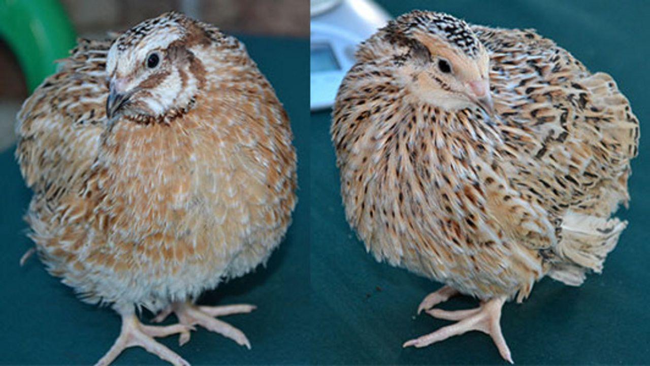 Слева — типичный самец Маньчжурского перепела, справа — самка