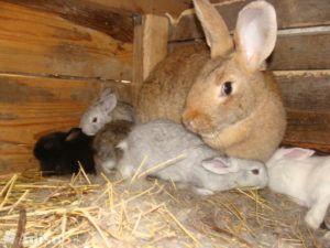 Несмотря на кажущееся равнодушие, крольчихи могут быть очень заботливыми