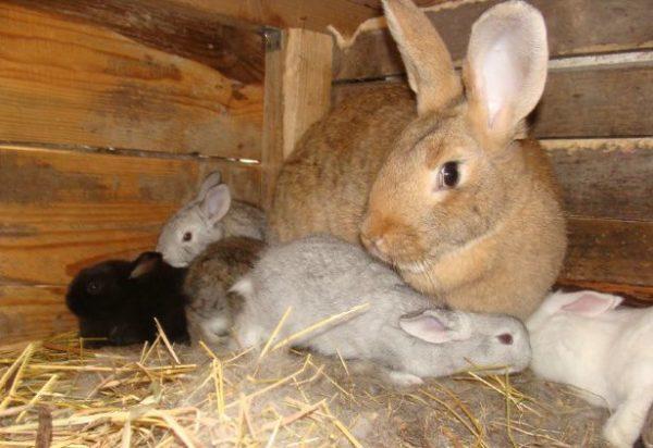 Крольчиха с пометом