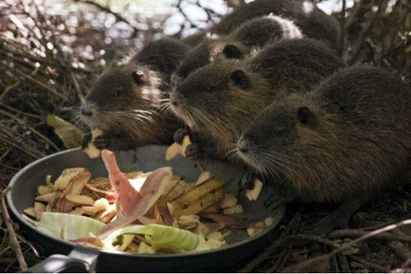 Нутрии едят картофельные очистки