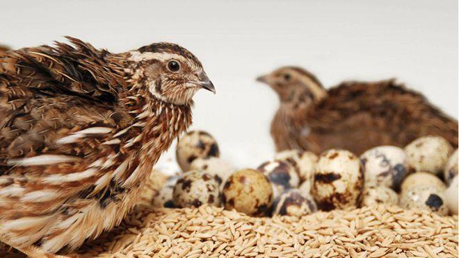 Интенсивный рост птенцов возможен, если птенец получит нужное количество белков и протеинов
