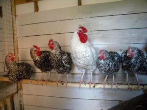 Длина и толщина жерди должны соответствовать размеру кур