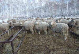 Плюсы и минусы овцеводства