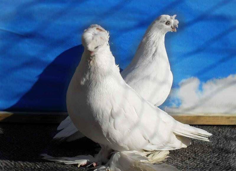 Носочубый узбекский голубь