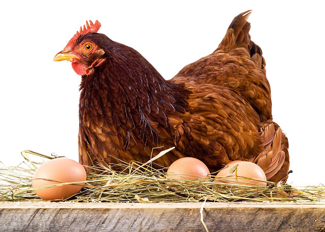 Курицы с рыжим, коричневым, палевым или черным оперением несут коричневые яйца