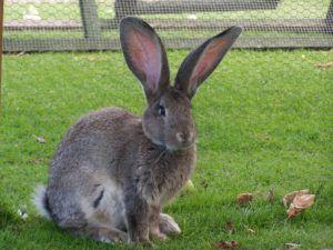 Кролик-великан на выгуле