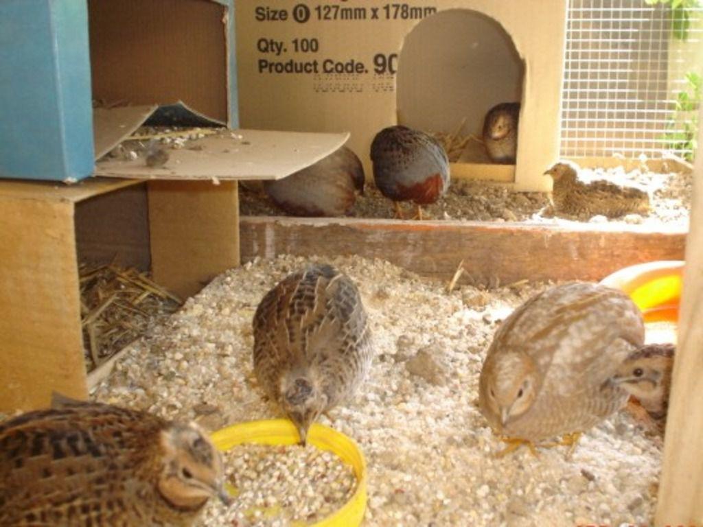Птичники, содержащие перепелов в декоративных целях, не размещают в одной клетке большое количество особей