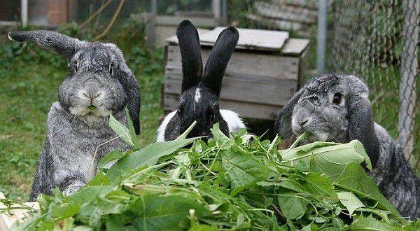 Кролики едят сочную зелень