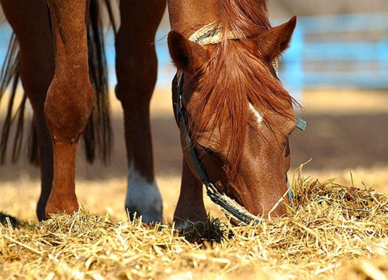 Лошадь ест овес