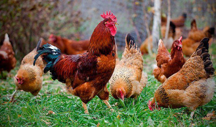 Петух необходим для получения оплодотворенных яиц. Если яйца будут использоваться лишь в кулинарных целях, присутствие самца необязательно