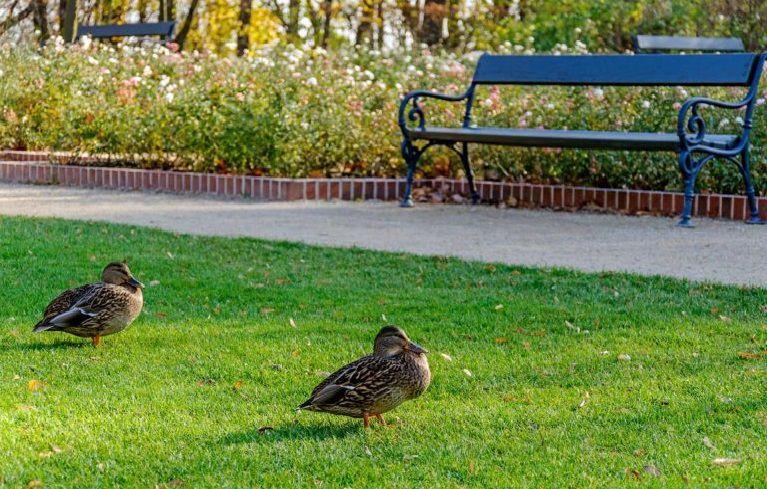 В парке уток вообще не желательно подкармливать