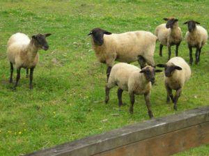 Литовская порода овец