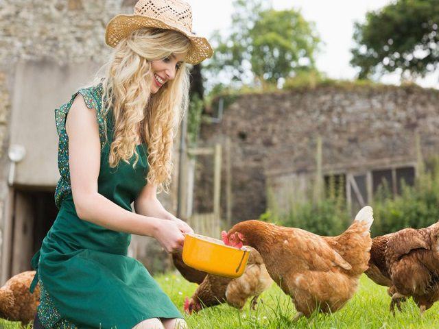 Чтобы избежать появления инфекционных заболеваний, нужно регулярно очищать куриный инвентарь
