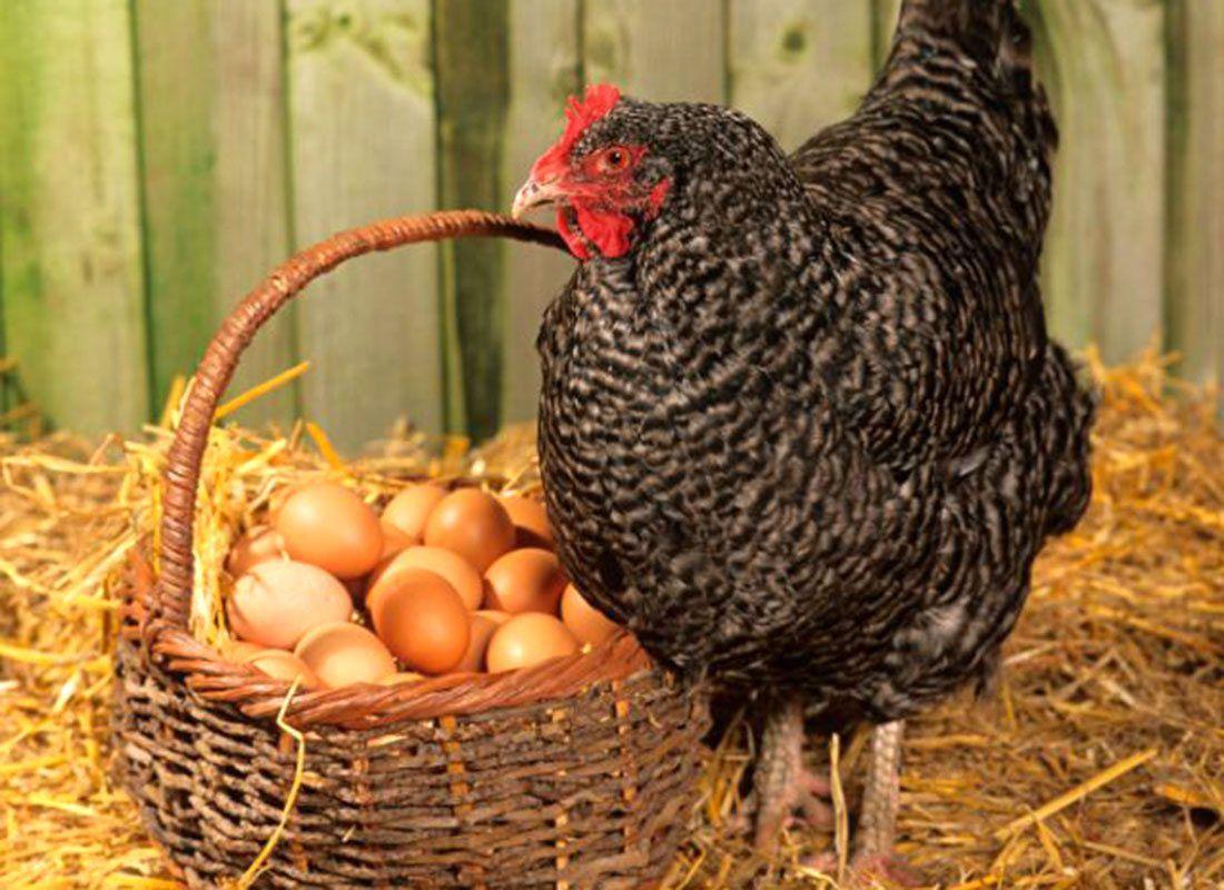 Размер куриного яйца зависит от возраста несушки