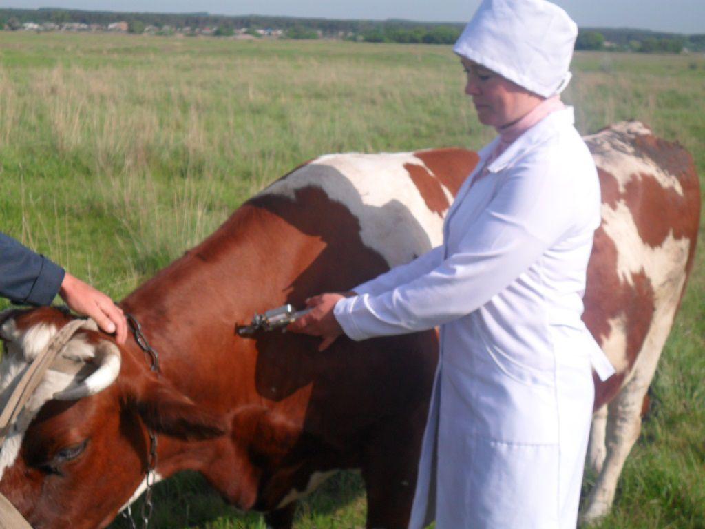 Если корова больна, ее следует изолировать от стада