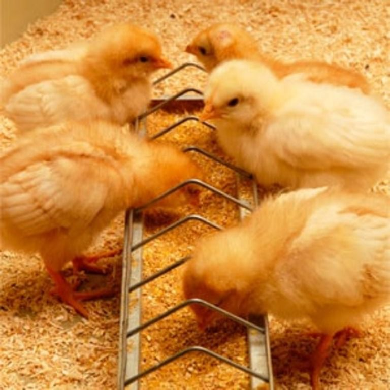 Чтобы вырастить одного цыпленка, требуется от 6 до 7 кг комбикорма