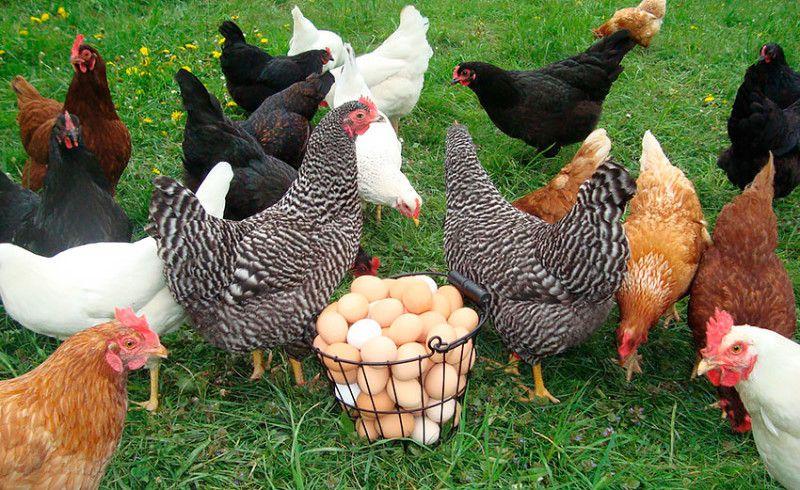Лучшие представителей гибридов могут нести яйца практически каждый день