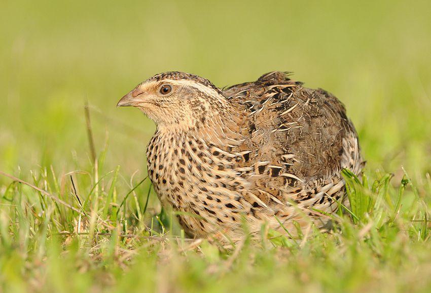 Перепелки – единственные домашние птицы, которых можно содержать даже в квартире и получать полезные яйца и мясо