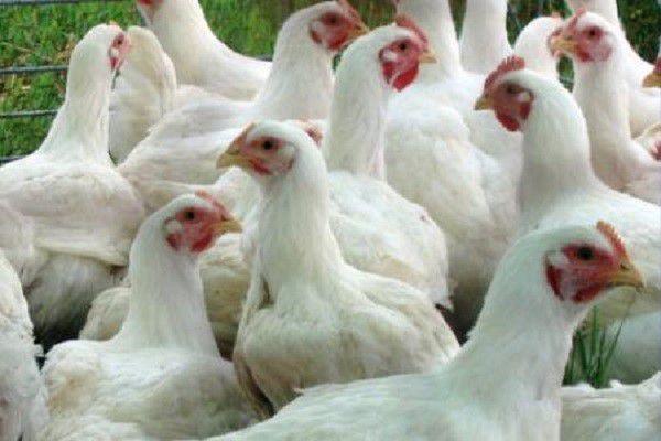 Более 70% затрат при разведении бройлеров – кормовые